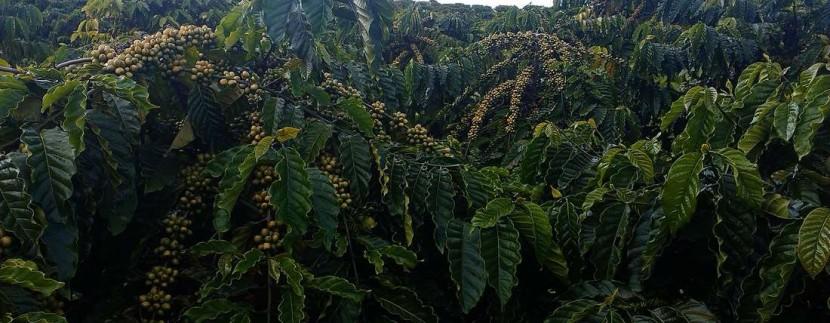 Vườn cà phê giống xanh lùn năm 3 bấm ngọn