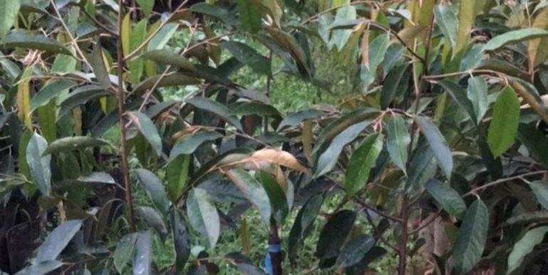 sầu riêng thái lan monthong dona (1)