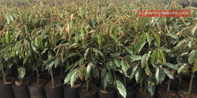 sầu riêng thái lan monthong dona (4)