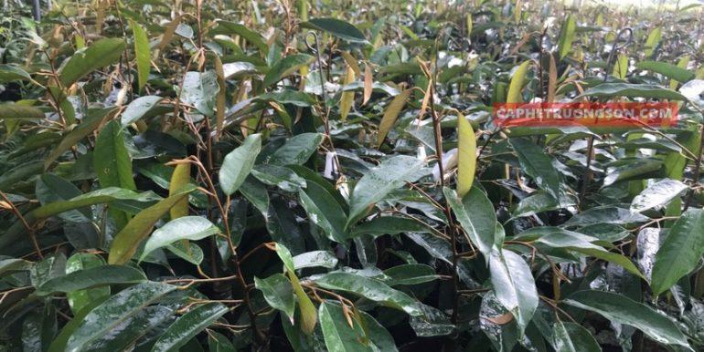 sầu riêng thái lan monthong dona (7)