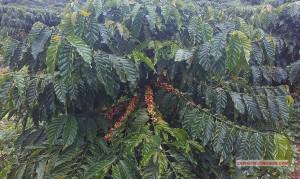 Vườn cà phê xanh lùn năm 2 tại Trường Sơn