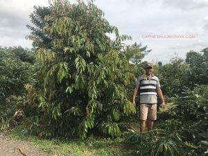 Sầu riêng Thái Lan Monthong 24 tháng tại trang trại Trường Sơn