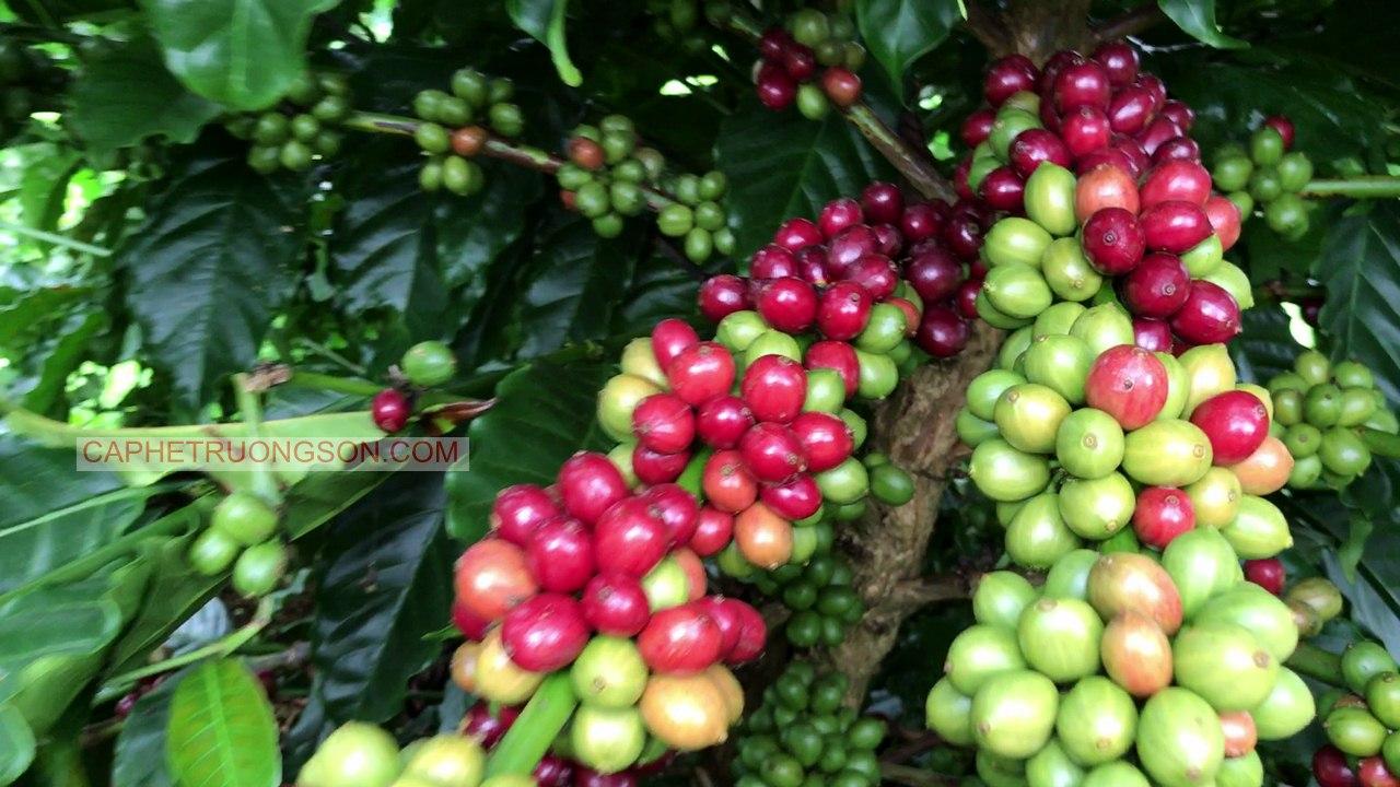 Tham quan vườn cà phê xanh lùn 30 tháng của khách hàng tại