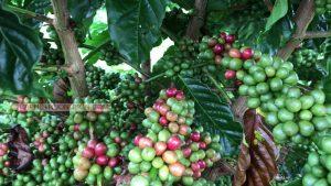 Tham quan vườn cà phê xanh lùn 30 tháng của khách hàng tại Bảo Lâm - Lâm Đồng